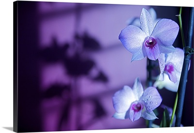 Hawaii, Kauai, White Orchid With Purple Lighting