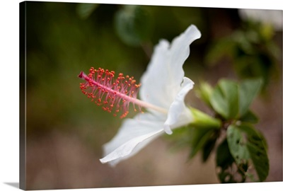 Hawaii, Maui, A Close-up Of White Hibiscus Flower