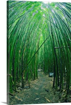 Hawaii, Maui, Bamboo Forest