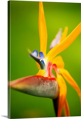 Hawaii, Maui, Bird Of Paradise Blossom