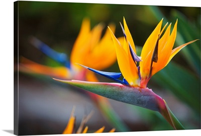 Hawaii, Maui, Bird Of Paradise Blossoms