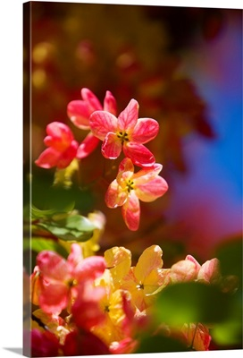 Hawaii, Maui, Close-Up Of Blossoms Of A Shower Tree