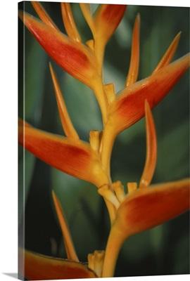 Hawaii, Maui, Close-Up Of Hanging Heloconia