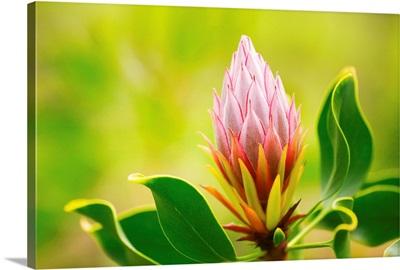 Hawaii, Maui, Close-Up Of King Protea Bud