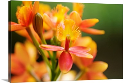 Hawaii, Maui, Close-Up Of Orange Epidendrum Orchid Cluster