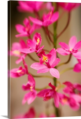 Hawaii, Maui, Close-Up Of Pink Epidendrum Orchids On Stem
