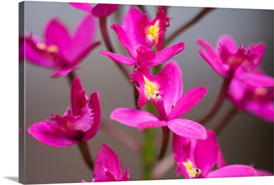 Hawaii, Maui, Close-Up Of Purple Epidendrum Orchids On Stem