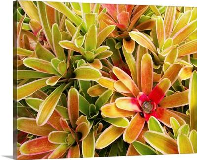 Hawaii, Maui, Cluster Of Colorful Bromeliad Plants