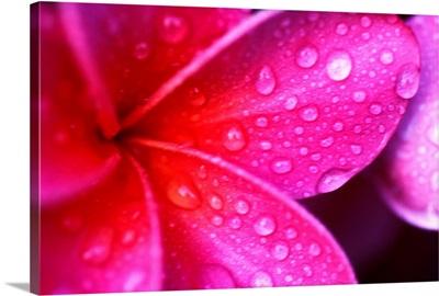 Hawaii, Maui, Extreme Close-Up Purple Pink Plumeria Blossom