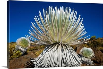 Hawaii, Maui, Haleakala National Park, Young Silversword Plant