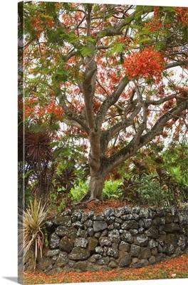 Hawaii, Maui, Hana, Beautiful Rainbow Shower Tree