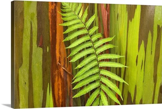 hawaii maui hana fern and rainbow eucalyptus tree wall art