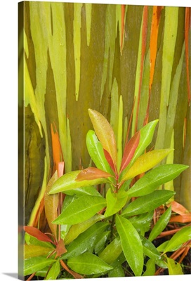 Hawaii, Maui, Hana, Leafy Bush And Rainbow Eucalyptus Tree