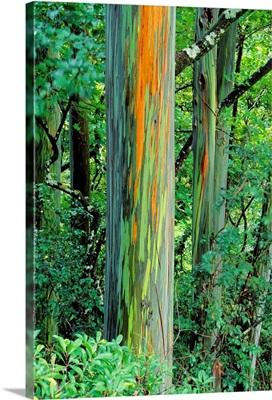 Hawaii, Maui, Hana, Rainbow Eucalyptus Tree Trunk