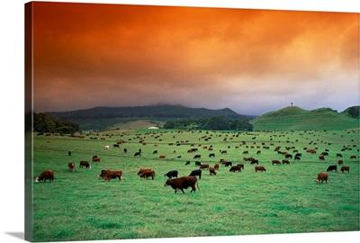 Hawaii, Maui, Hana Ranch Pasture, Many Cattle Grazing On The Land