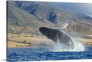 Hawaii Maui Humpback Whale Breaching With Island In The
