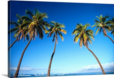Hawaii, Maui, Lahaina, Coconut Palm Trees Along Ocean, Blue Sky