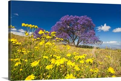 Hawaii, Maui, Lavender Blossoms Of This Jacaranda Tree