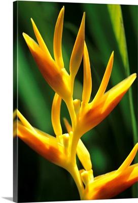 Hawaii, Maui, Orange Heliconia Blossom