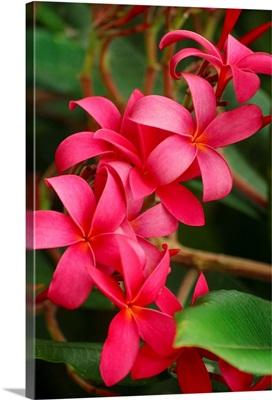 Hawaii, Maui, Pink Plumerias