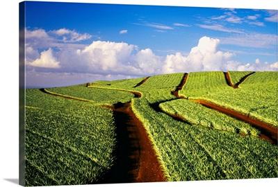 Hawaii, Maui, Pukalani, Pineapple Fields Stretch Out To The Horizon