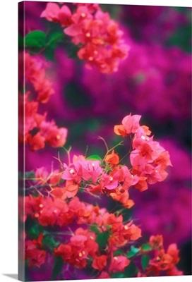 Hawaii, Maui, Wailea, Pink Bougainvillea Blossoms