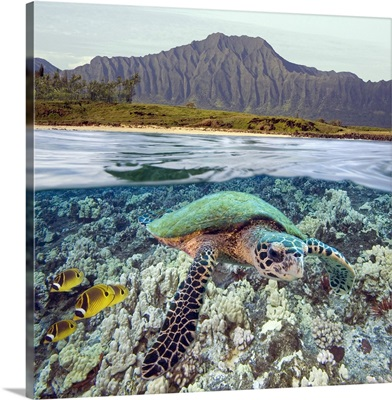 Hawaii, Oahu, A Hawksbill Turtle And Raccoon Butterflyfish, Mountain Range Above