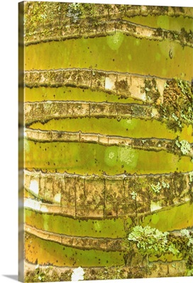 Hawaii, Oahu, Close-Up Of Coconut Palm Tree Bark Texture