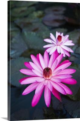 Hawaii, Oahu, Kualoa Ranch, Pink Water Lilies
