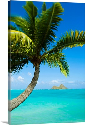 Hawaii, Oahu, Lanikai, Palm Tree Over Blue Ocean
