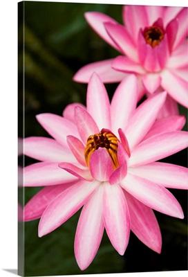 Hawaii, Pink Lotus Blossum