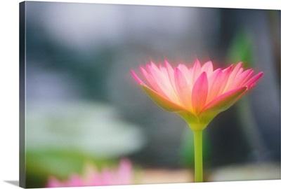 Hawaii, Pink Water Lily