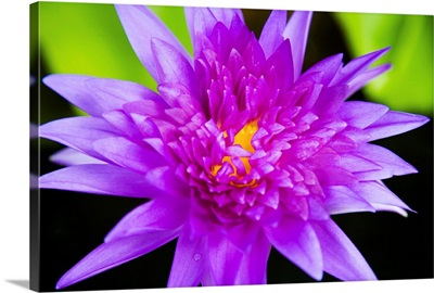 Hawaii, Purple Lotus Blossum