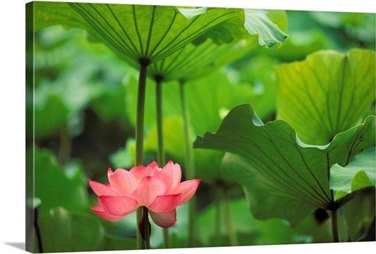hawaii single bright pink lotus blossom wall art canvas prints