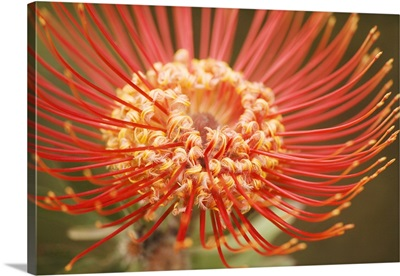 Hawaii, Upcountry Maui, Extreme Close-Up Of Red Pin Cushion Protea