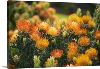 Hawaii, Upcountry Maui, Orange Pin Cushion Protea Blossoms On Bush