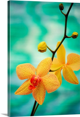 Hawaii, Yellow Dendrobium With Orange Speckles, Orchid Flower On Plant