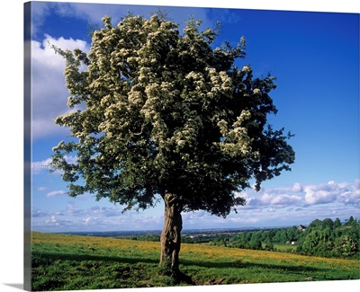 Hawthorn Tree On A Landscape, Ireland