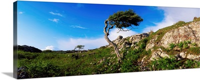 Hawthorn Tree On Bog Road, Near Roundstone, Connemara, Co Galway, Ireland