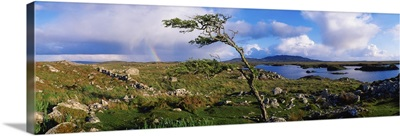 Hawthorn Tree, Rainbow, Bog Road, Near Roundstone, Co Galway, Ireland