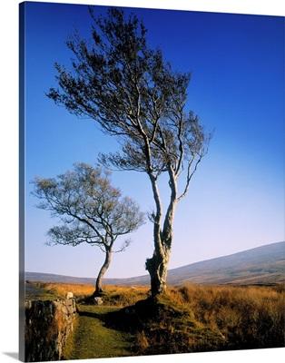 Hawthorn Trees In Sally Gap, County Wicklow, Republic Of Ireland