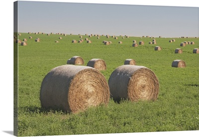 Hay Bales In A Green Alfalfa Field