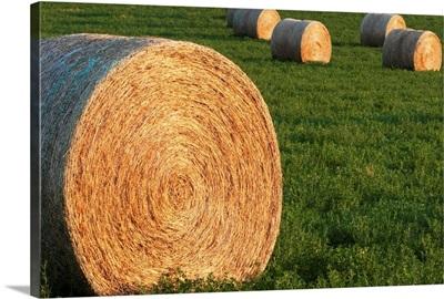 Hay Bales In Green Alfalfa Field, Alberta, Canada