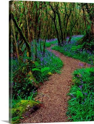 Hazel And Bluebells In Spring, Ardcarrig, County Galway, Ireland,