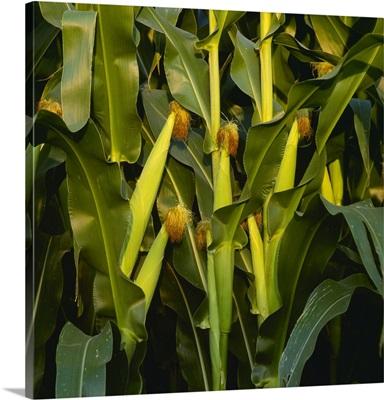 Healthy ears of mid season grain corn on the stalks, Iowa