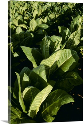 Healthy mid growth Burley tobacco plants in the field, Kentucky