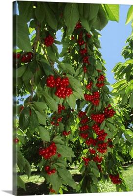 Heavy laden branches of ripe cherries