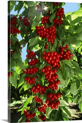 Heavy laden branches of ripe cherries on the tree in Spring