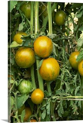 Heirloom tomatoes on the vine, Green Zebra variety, California