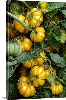 Heirloom tomatoes on the vine, Yellow Ruffled variety, California